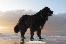 Une chienne donne sa vie <br />pour des humains