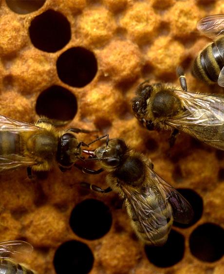 Les vétérinaires au secours des abeilles